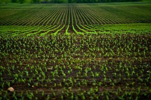 Emerging Corn Field