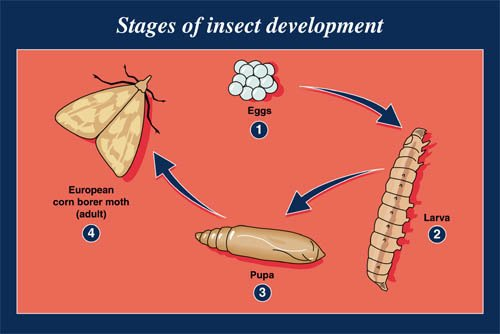 Stages of insect development