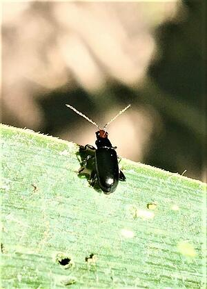Red-headed flea beetle