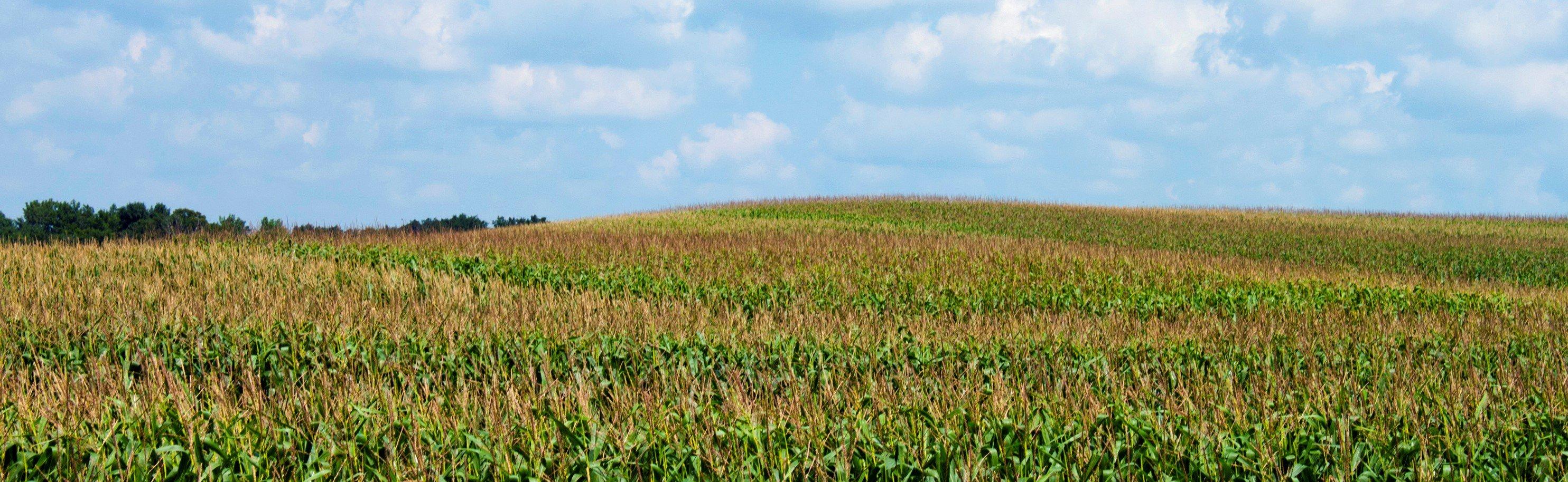 Cornfield July landscape