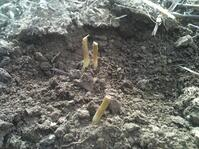 Cutworm damage on sunflower seedlings