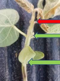 Damaged soybean 1