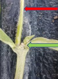 Damaged soybean 2