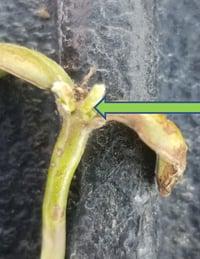 Damaged soybean 3