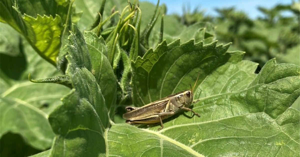Grasshopper-on-Sunflower