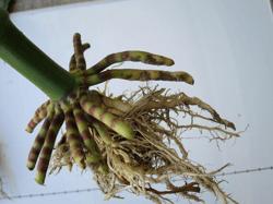 Poor root development in corn