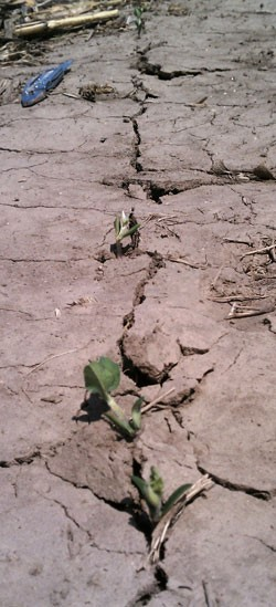 Figure 1. Uneven soybean emergence in crusted soil in south central Nebraska