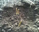 Sunflowers damaged by cutworms at the soil surface