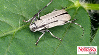 adult stage soybean stem borer