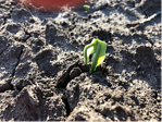 Corn emergence hindered by soil crusting