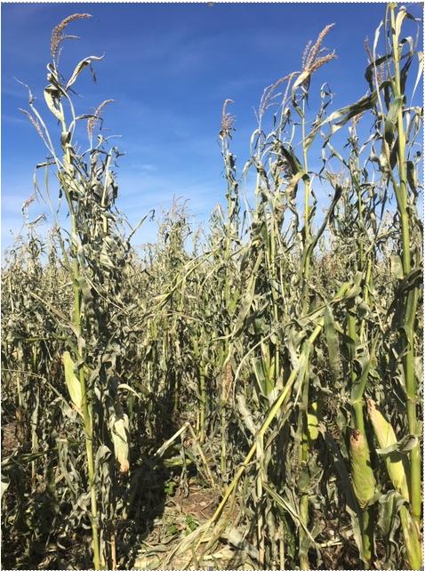 corn stalk lodging
